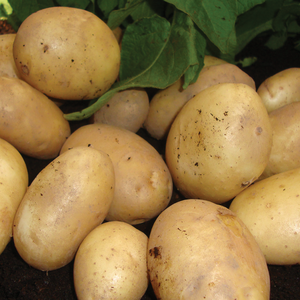 Home Guard First Early Seed Potatoes 2kg