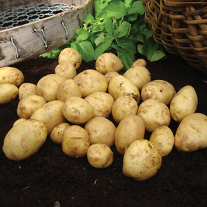Duke of York First Early Potatoes 2kg