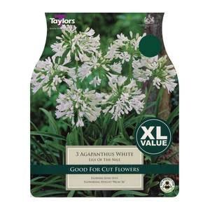Taylors White Agapanthus Bulbs (3 pack)