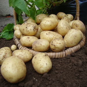 First Earlies Orla Seed Potatoes 2kg