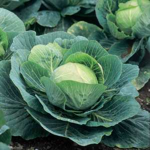 Suttons Seeds Cabbage F1 Kilazol