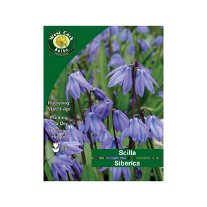 Scilla Siberica Flowers  100 Bulbs