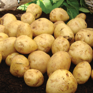 British Queen Second Early Seed Potatoes