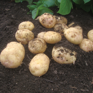 Record Maincrop Seed Potatoes